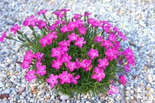 湖北宿根花卉杯苗