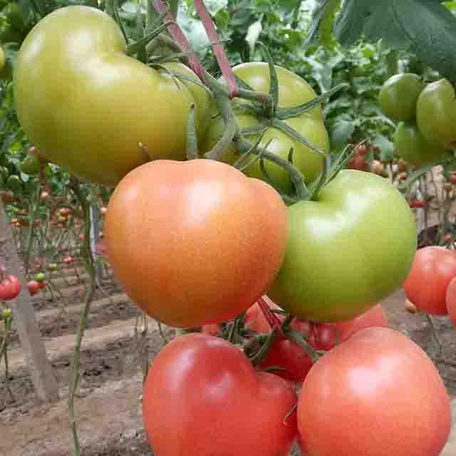 辽宁大红番茄种子公司:如何防治褪绿病毒病