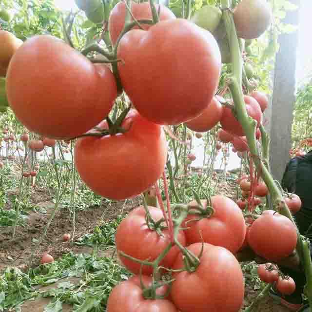新疆抗死棵西红柿种子批发:番茄死棵的原因