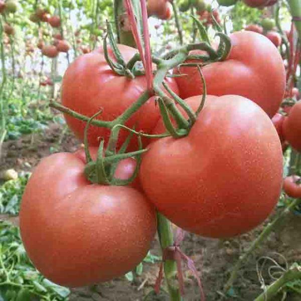 樱桃番茄种子供应商:樱桃番茄是转基因产品吗?
