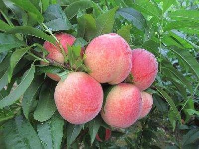 桃树苗木种植基地