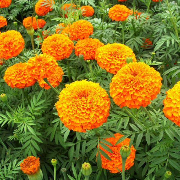 绿化用苗木供应