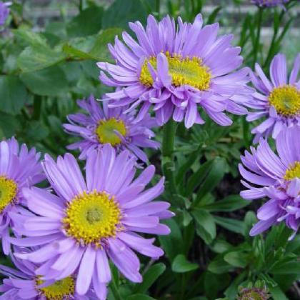 宿根花卉杯苗