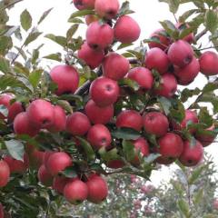 红富士苹果苗种植基地