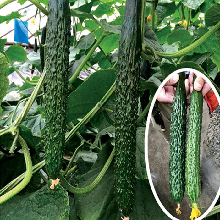 青岛优良黄瓜种子供应|寿光黄瓜种子