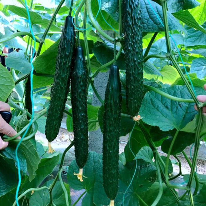 购买黄瓜种子优选乾德种业_上海乾德777