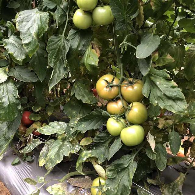进口西红柿